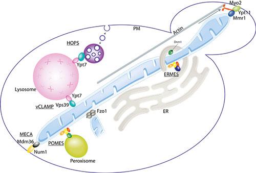 peroxisomes lysosomes